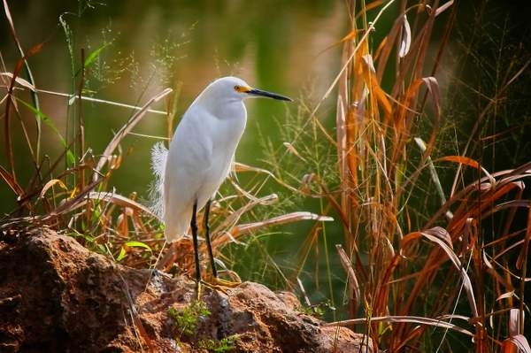 Egret on the Watch
