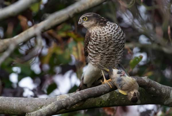 Sparrowhawk with catch