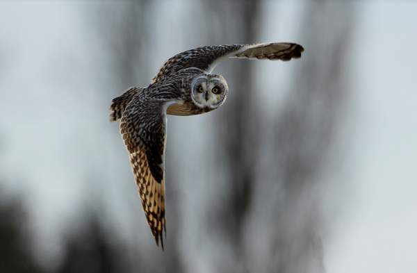 Short-eared Owl
