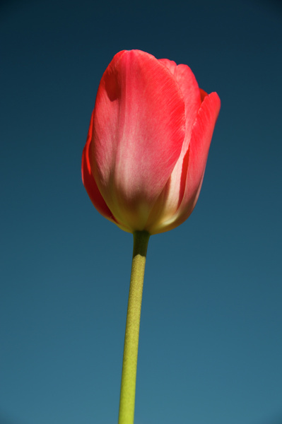 Garden Tulip by MikeGoffin