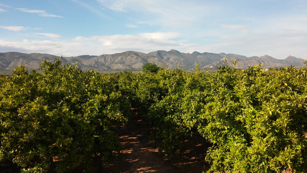 Orange Plantations to the Background by Henner Stollberg