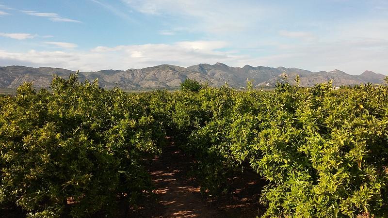 Orange Plantations to the Background