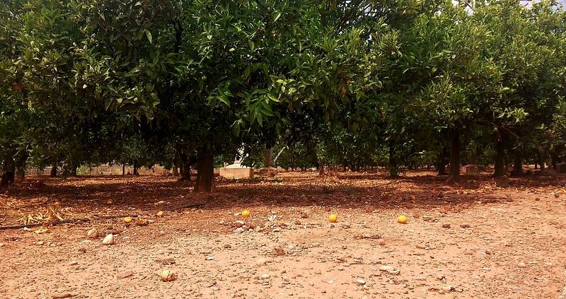 orange plantations