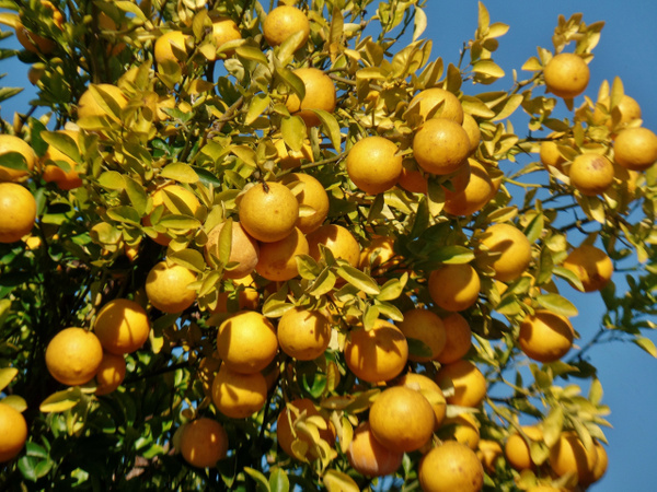 lemon tree by Henner Stollberg