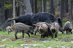 Other Swedish animals