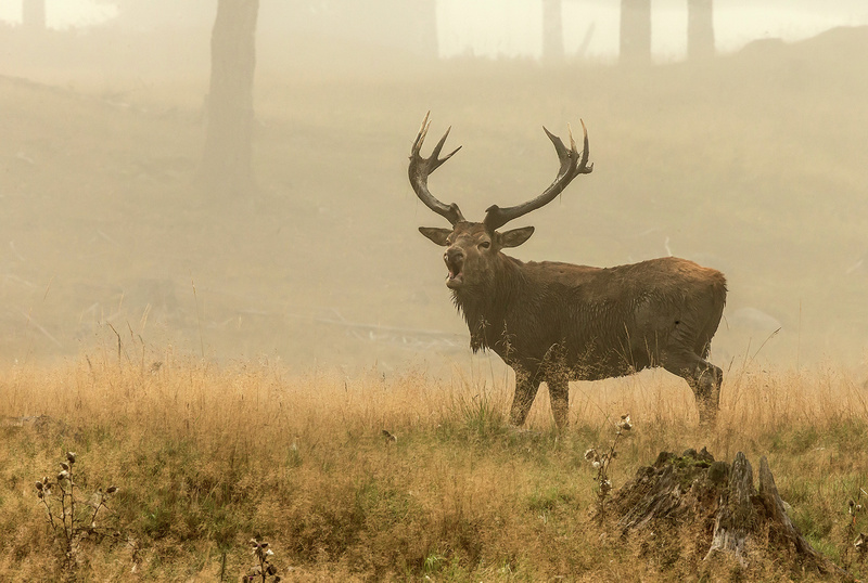 Red deer in rut