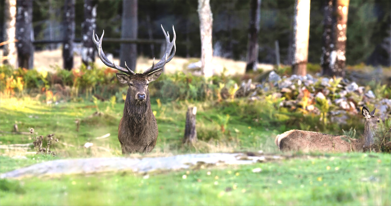 Red deer buck in rut