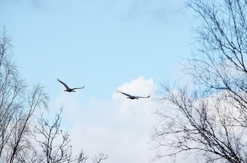 Cranes are back