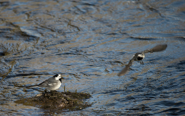 Tele lens comparison with White Wigtails in a stream by...