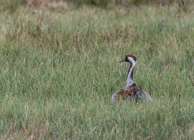 Crane mother with chicken No 1