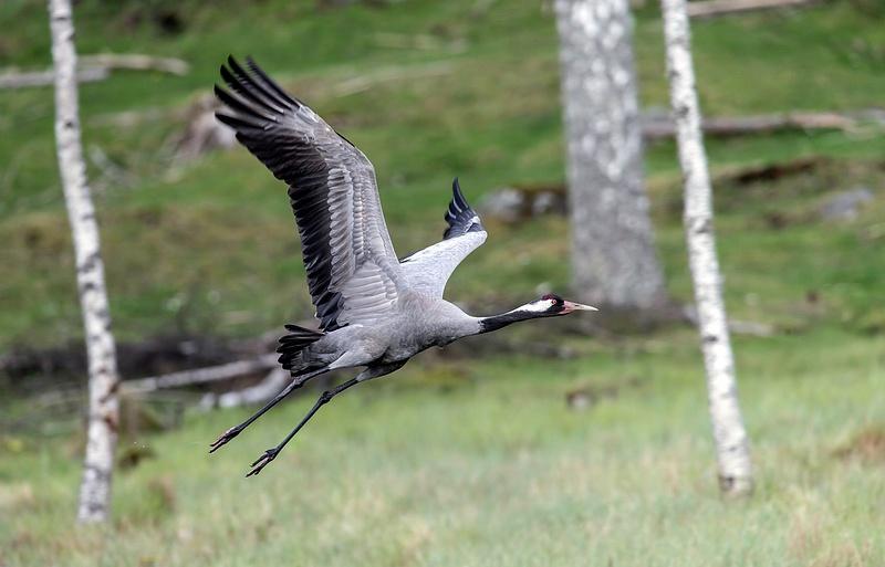 Crane male flying away for feeding