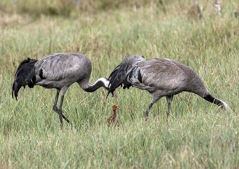 Crane pair with chicken No 1