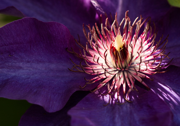 Clematis by CathyDonohoue