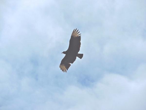 Black Vulture by Clark Johnston