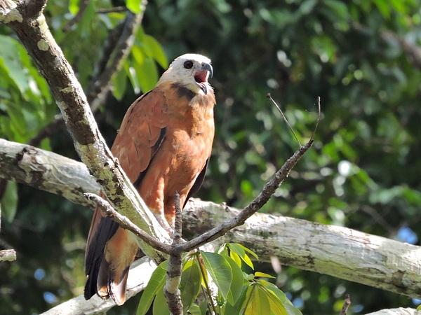 Black-collared Hawk by Clark Johnston