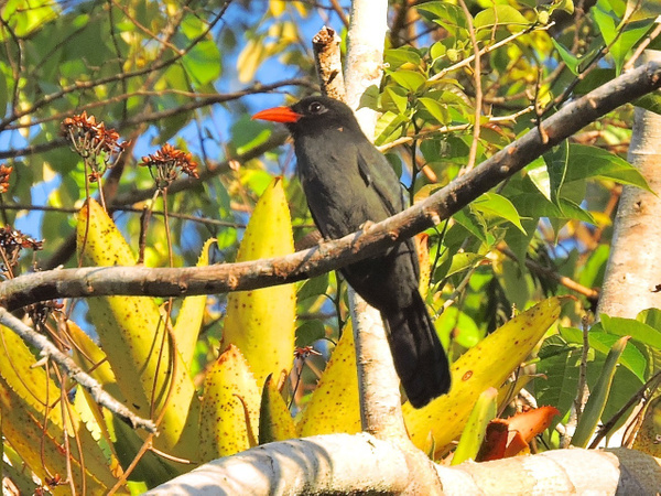 Black-fronted Nunbird by Clark Johnston