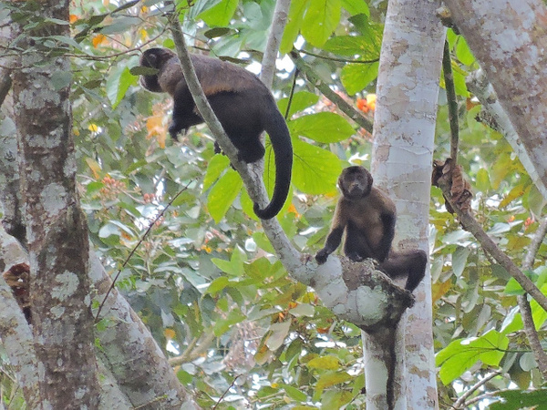 Brown Capuchin Monkeys by Clark Johnston