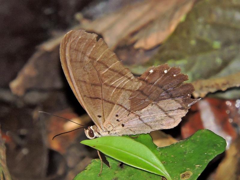 Brown rainforest butterfly