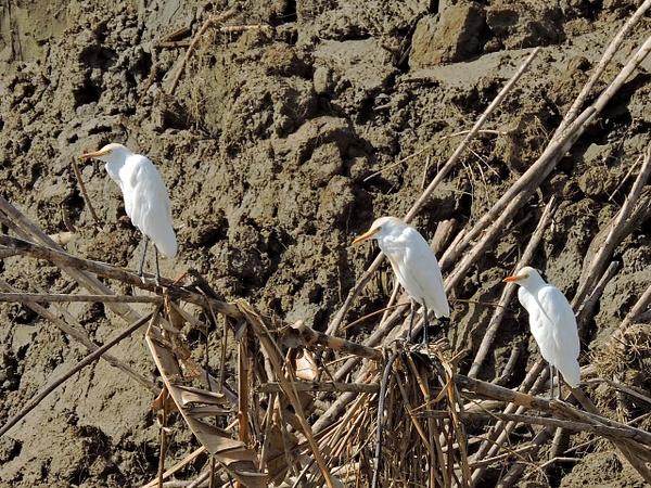 Cattle Egrets by Clark Johnston