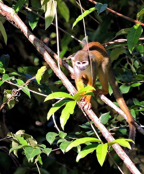 Common Squirrel Monkey by Clark Johnston