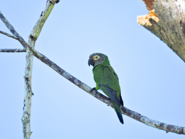 Dusky-headed Parakeet by Clark Johnston