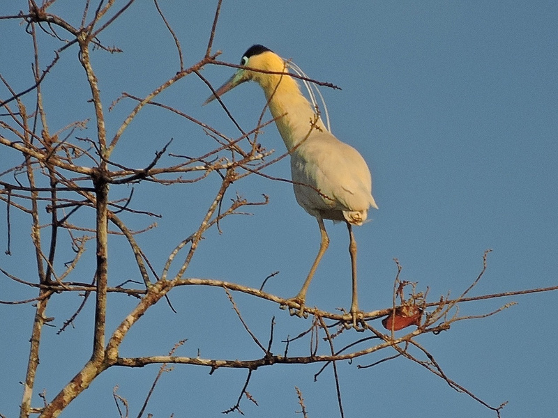 Early morning Capped Heron