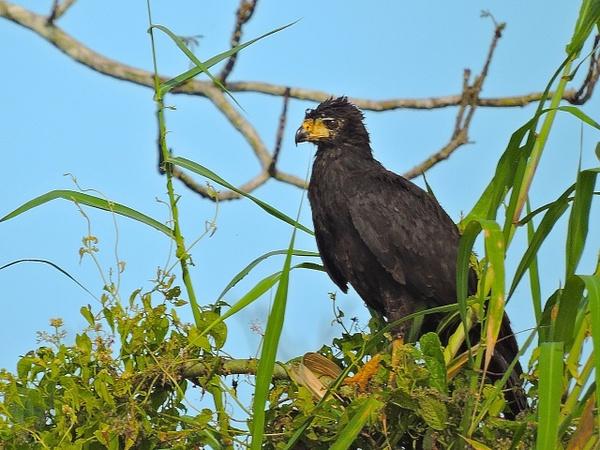 Great Black-Hawk by Clark Johnston
