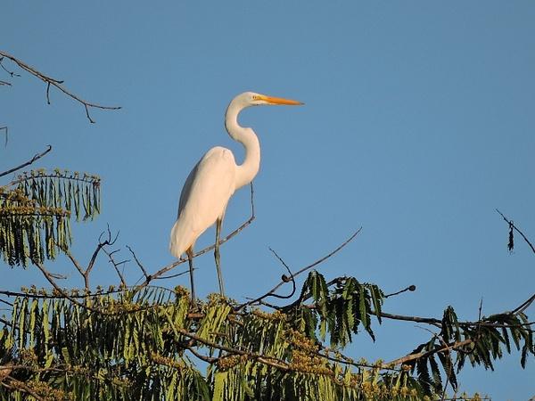Great Egret by Clark Johnston