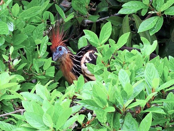 Hoatzin in shrubs by Clark Johnston