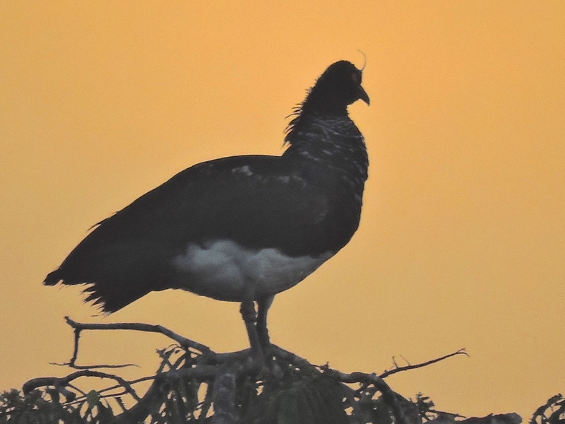 Horned Screamer at dusk
