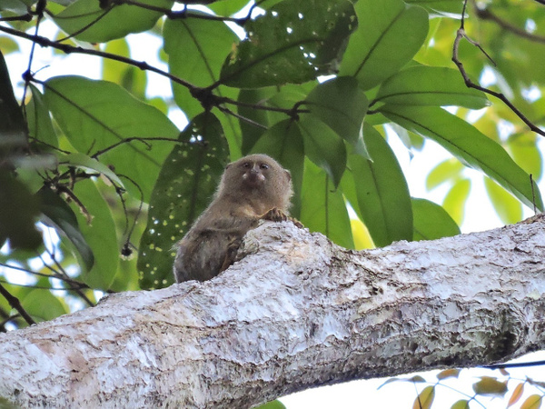 Pygmy Marmoset 2 by Clark Johnston
