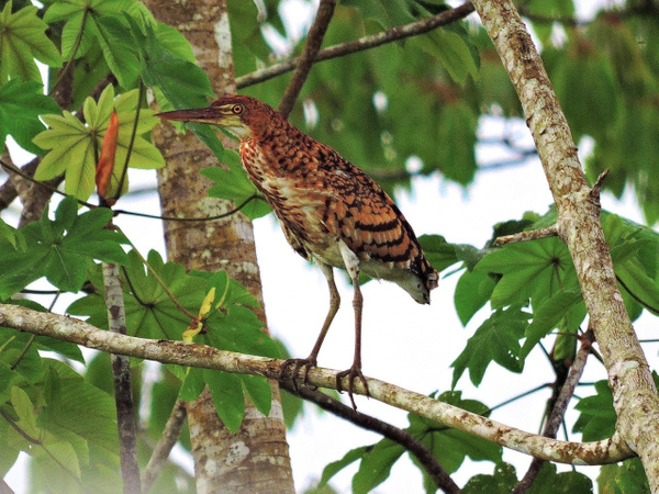 Rufescent Tiger-Heron by Clark Johnston