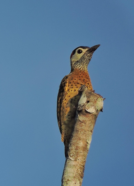 Spot-breasted Woodpecker by Clark Johnston