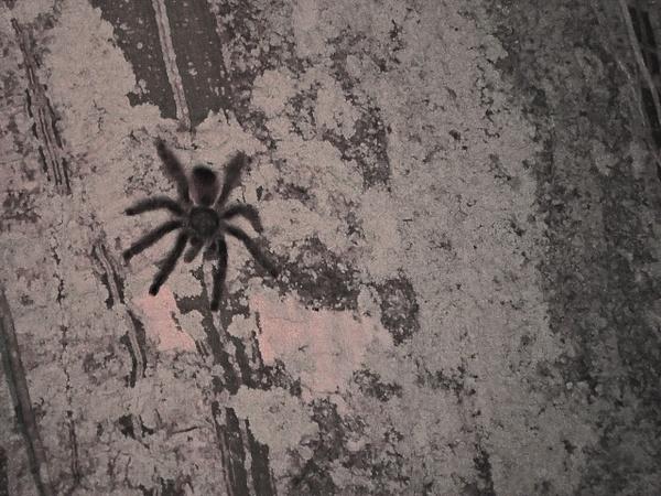 Tarantula by Clark Johnston