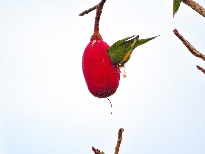 White-winged Parakeet 1
