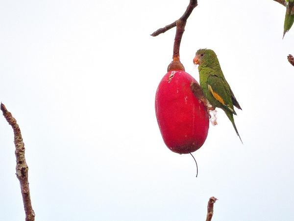White-winged Parakeet 2 by Clark Johnston