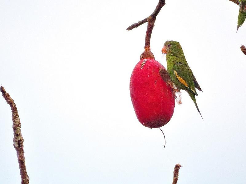 White-winged Parakeet 2