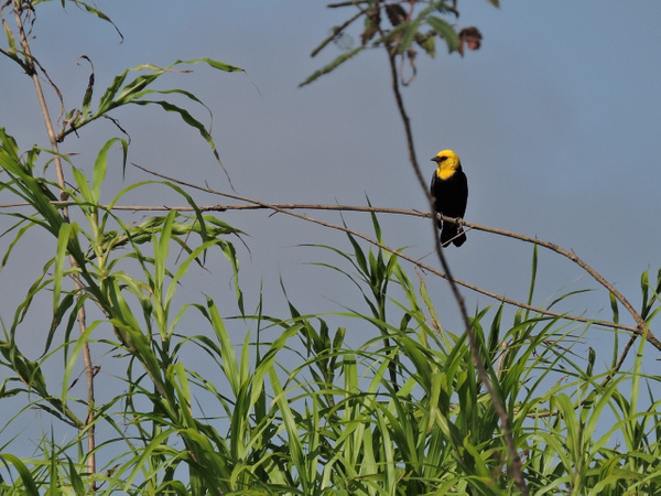 Yellow-hooded Blackbird by Clark Johnston