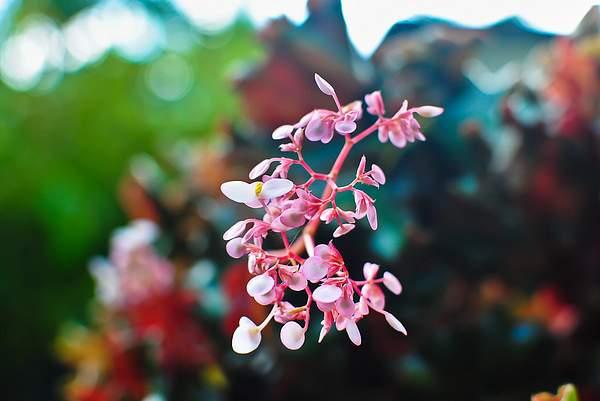 lilliput orchid