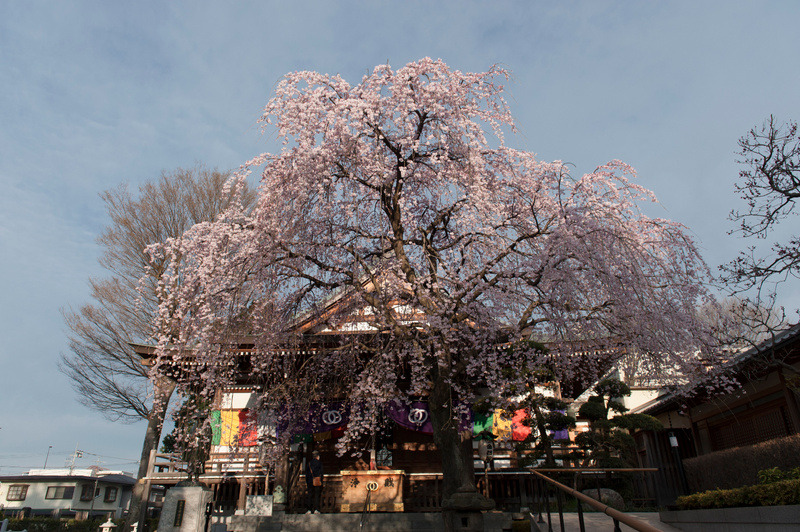 cherry blossom in temple