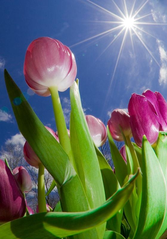 Engagement Tulips