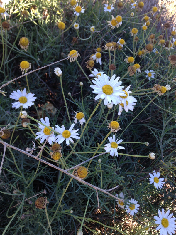 some daisies to brighten your day