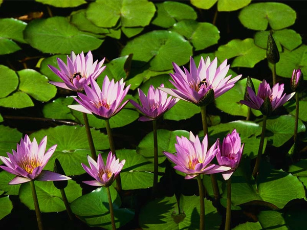 Water_lilies by amazingGrace