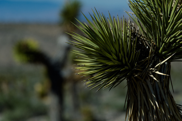 Joshua Trees. Death Valley, 2015 by CuriousLizard