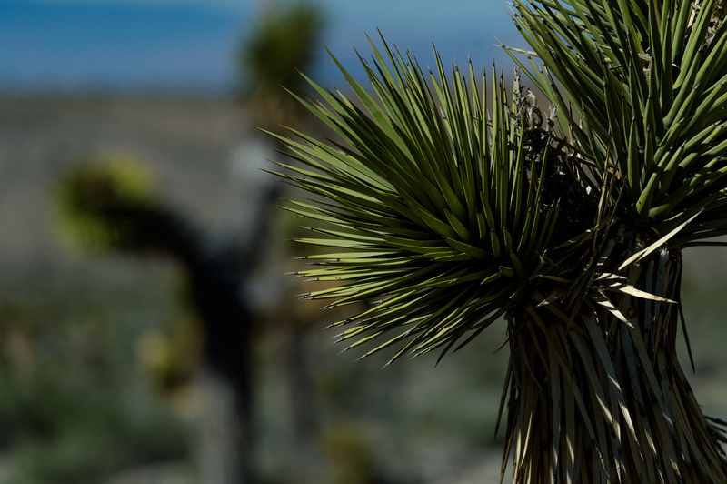 Joshua Trees. Death Valley, 2015