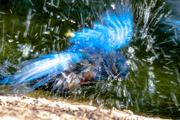 Blue Bird Splash