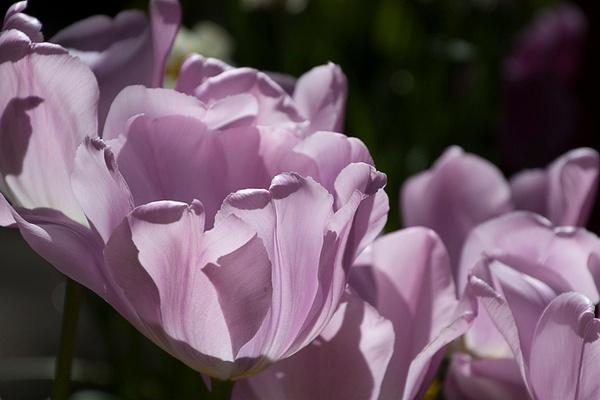 Lovely in Lavender by MelanieLewert