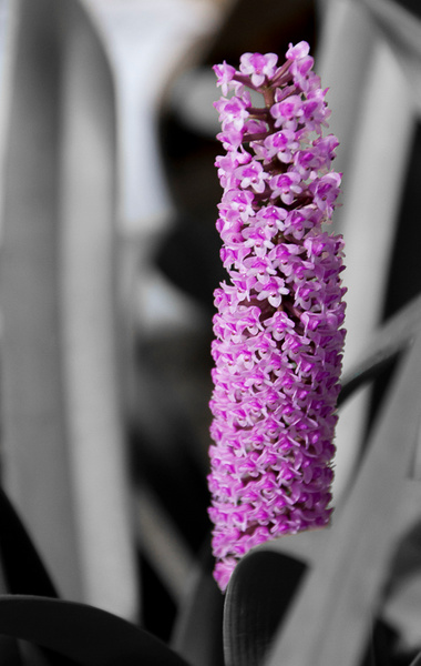 Hyacinth Orchid by MelanieLewert