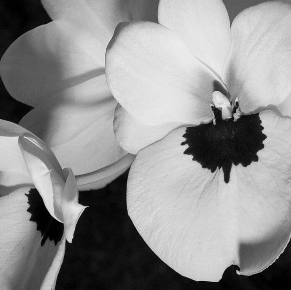 Miltonia Orchids by MelanieLewert