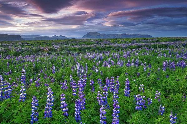 Lupin field - Iceland - Tony Sweet
